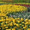 Main Tulip Bed