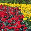 Bi-colour Tulip Bed